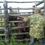 КФХ Мурок взятие крови и вакцинация лошадей против сиб.язвы