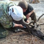 вакцинация оленя