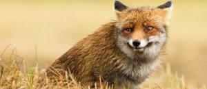 red_fox-1545590-600x387-600x259